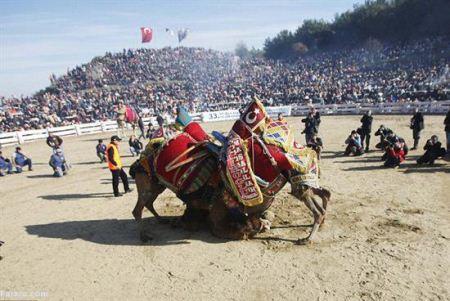 فستیوال عجیب و جالب کشتی شترها در ترکیه