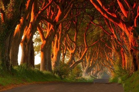 تصاویر رویایی تونلی از جنس درخت در ایرلند