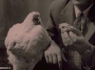 داستان واقعی زندگی مرغ بی سر