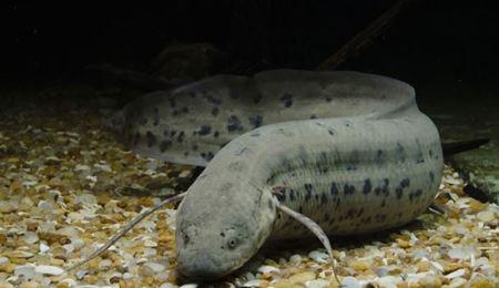 ماهی عجیب وغریبی که 5 سال بدون آب و غذا زندگی میکنه