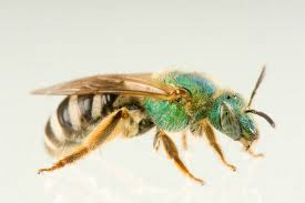 هشدار کارشناسان هنگام دیدن این زنبور مرگبار