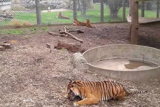 کشته شدن زن نگهبان توسط ببر در باغ وحش