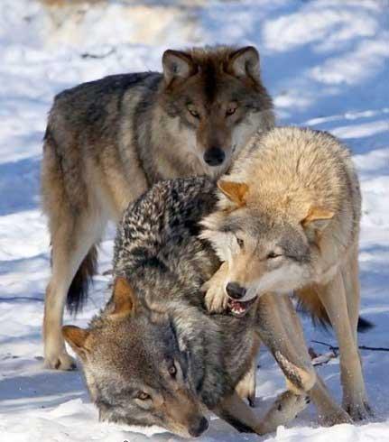 زندگی عجیب این خانواده با گرگ ها