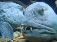 صید بزرگ ترین گرگ ماهی جهان