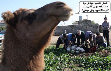 عید قربان گوسفندها