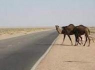 تصادف مرگبار پراید با شتر در زاهدان + عکس