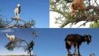بزهای پرنده بلای جان مردم شدند + عکس