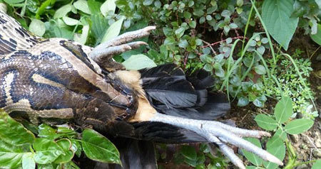 ماساژ عجیب اندام بدن با مارهای افعی + عکس