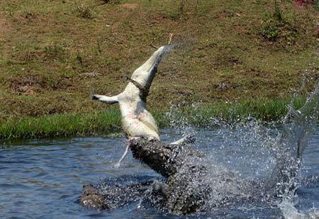وقتی تمساح هم نوعش را شکار میکند +عکس