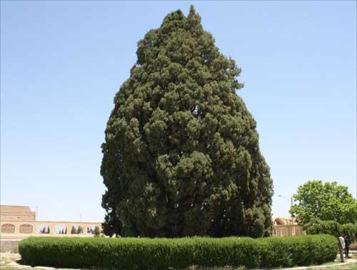 درختی که پسر نوح در یزد کاشته است + عکس