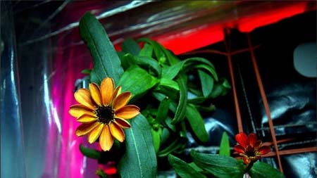 اولین گل فضایی جهان را ببینید +عکس