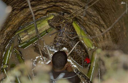 عکس های وحشتناک پلنگ خشمگینی که در چاه افتاد