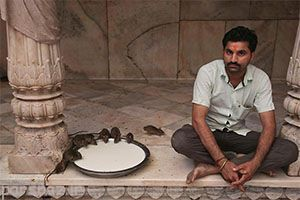 معبدی عجیب مملو از موش در هندوستان
