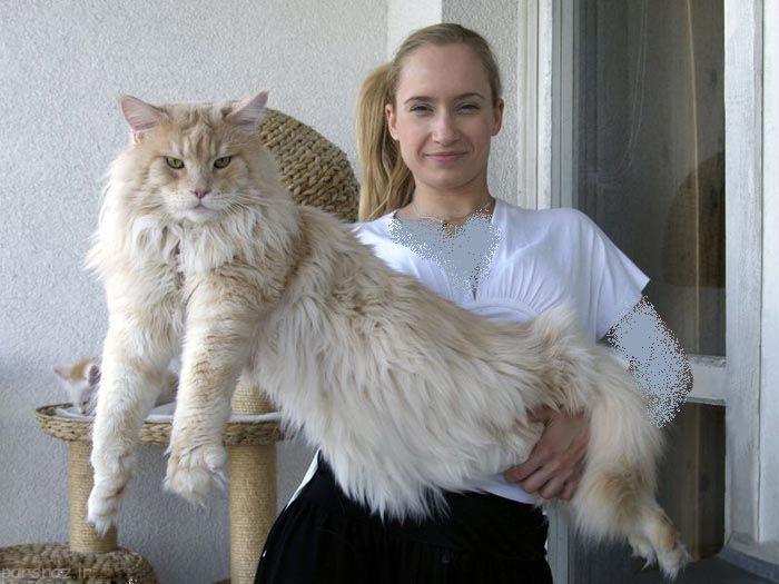 مین راگون بزرگترین گربه ای که تابحال دیده اید