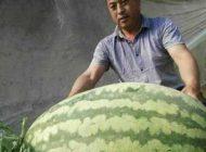 کشاورز چینی با هندوانه 80 کیلویی رکورد زد