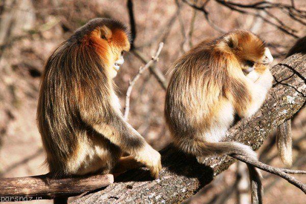 احساس دلسوزی در میمون ها