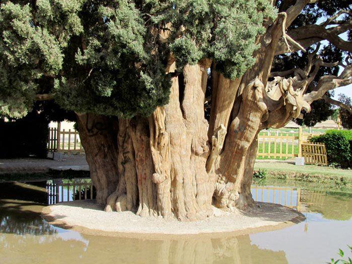عکس هایی زیبا از کهنسال ترین درخت های جهان