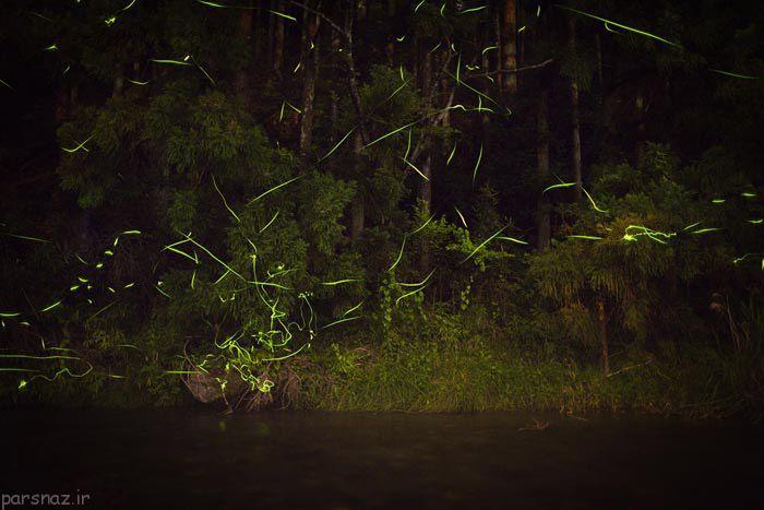 درخشش کرم های شب تاب به رنگ فسفری +عکس
