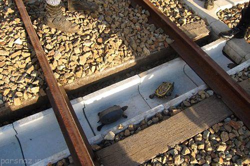 ساخت تونل برای عبور لاک پشت ها از مسیر ریل قطار در ژاپن