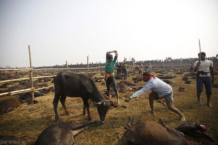 کشتن بیرحمانه حیوانات در نپال +عکس