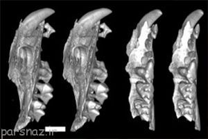 بقایای فسیلی جالب از کیسه داران حلزون خوار