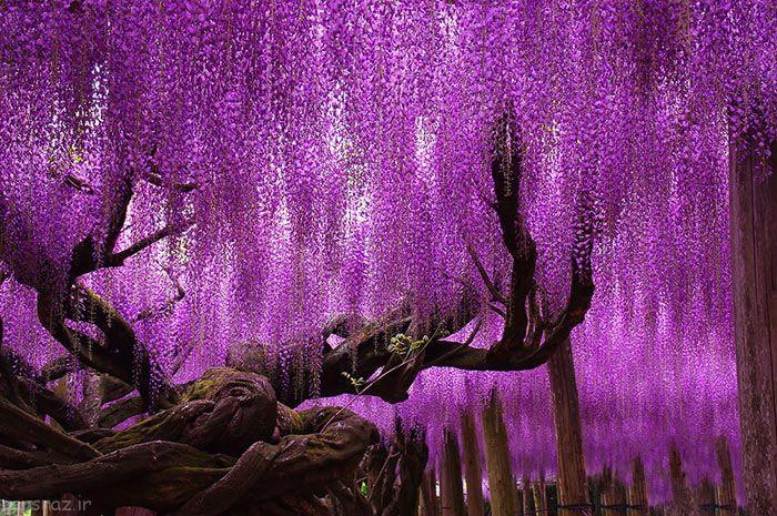 زیباترین و باشکوه ترین درختان جهان را بشناسیم