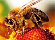 کشف درک میدان الکتریکی گل توسط زنبورها