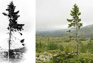 کهن سال ترین درخت جهان در سوئد + عکس