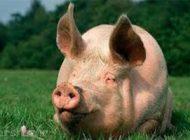 تولید جنین های نیمه انسان و نیمه خوک
