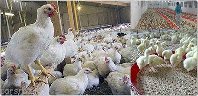 به این فکر کردین مرغی که میخورید از چی هست؟