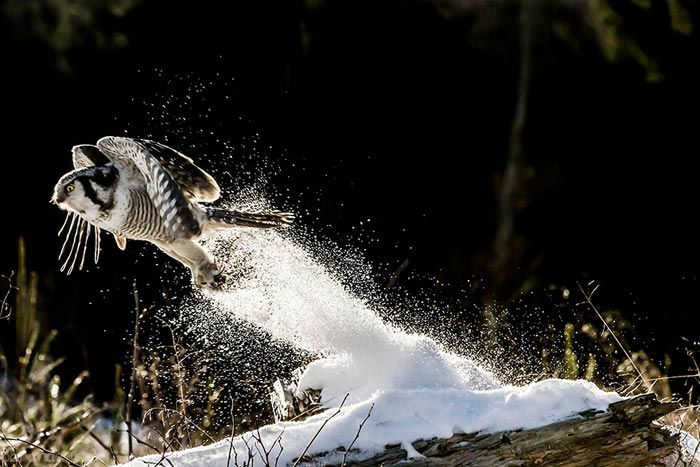 عکس هایی از زیبایی های شکارچی شب جغد