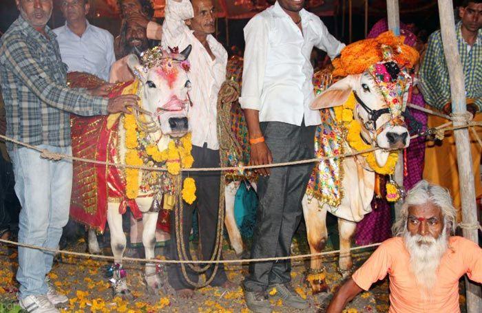 مراسم ازدواج گاوها در هندوستان +عکس