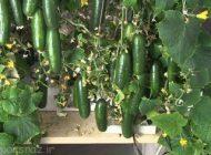 روش های کاربردی کاشت خیار در خانه