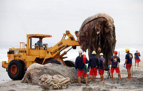 نهنگ عظیم گوژپشت در امریکا دردسر ساز شد