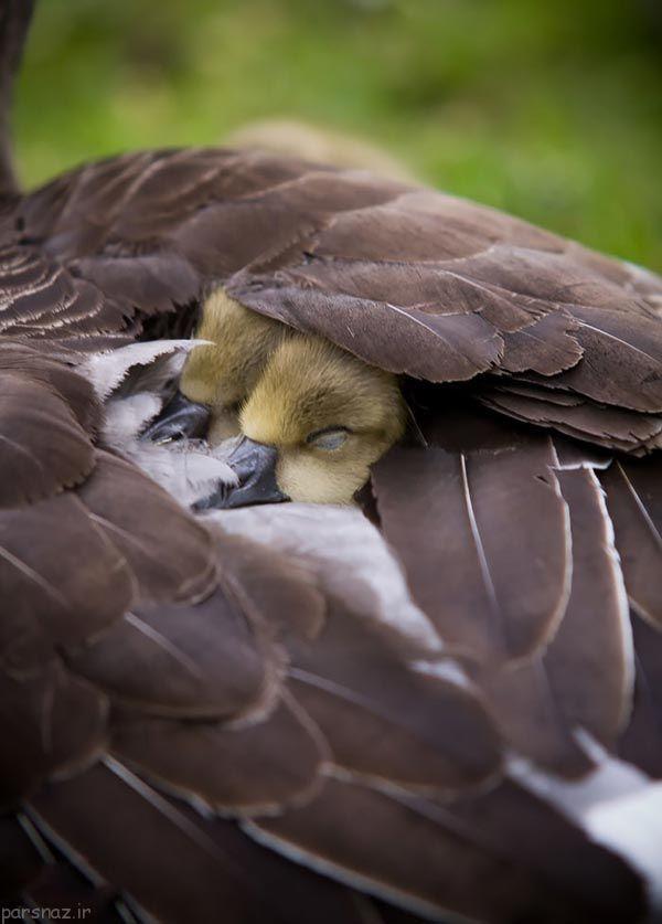 مراقبت مادرانه پرنده ها از جوجه هایشان