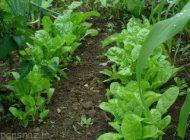 آموزش کاشت شنبلیله و شاهی در باغچه