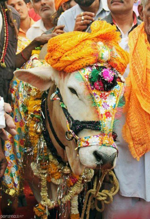 ازدواج گاوها در هندوستان در مراسم با شکوه