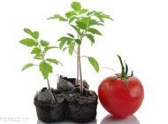 گوجه فرنگی را در منزل پرورش دهیم