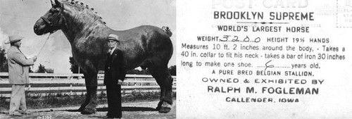 بزرگترین اسب در دنیا را ببینید  عکس