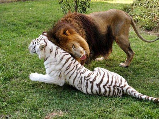 دوستی جالب شیر و ببر را ببینید
