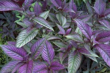 آموزش پرورش گیاه سپر فارسی