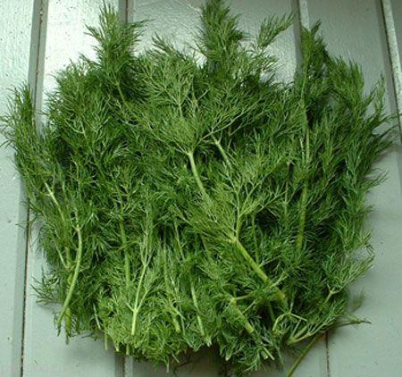 سبزی شوید و پرورش آن در خانه