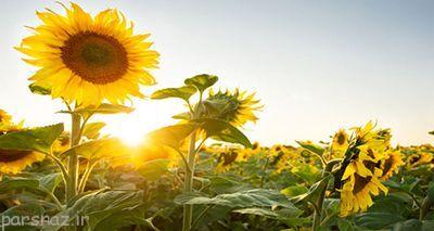 علت چرخش گل های آفتابگردان چیست؟