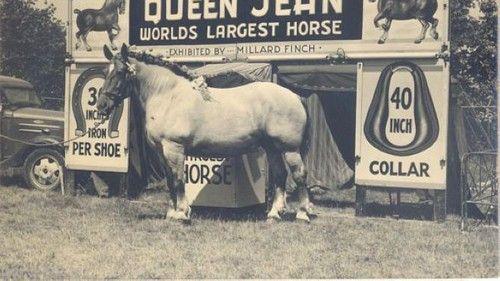 بزرگترین اسب در دنیا را ببینید +عکس