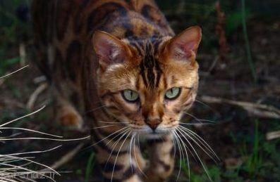 زیباترین گربه پلنگی در جهان را ببینید