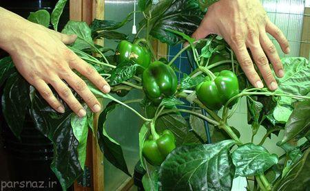 در منزل سبزی پرورش دهید