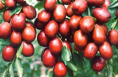 آموزش نگهداری از درخت عناب گرمسیری