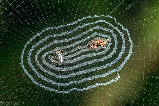 عنکبوت زیبای آینه ای را ببینید