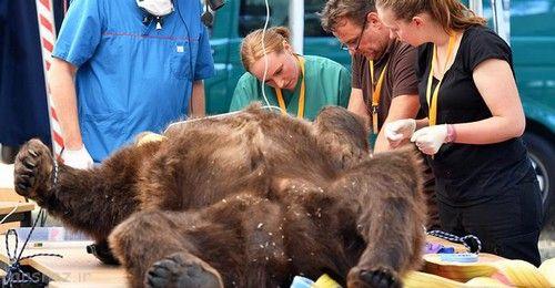 خرس بزرگ زیر جراحی دندان پزشکی +عکس