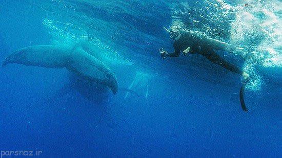 سلفی این غواص در کنار نهنگ های غول پیکر